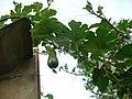 """Cucurbita pepo """"zapallo de Angola"""" semillería La Paulita - Desarrollo 9 (AM y fruto de 5 días AM08).jpg"""