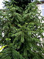 Cunninghamia lanceolata 001.jpg