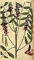 Curtis's botanical magazine (Plate 3065) (8411484798).jpg