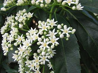 Rousseaceae - Cuttsia viburnea