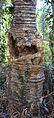 Cycas circinalis 01.JPG