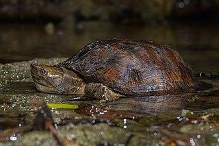 Oldhams leaf turtle species of reptile