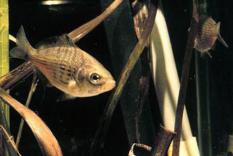 Shiner (fish) - Image: Cymatogaster aggregata