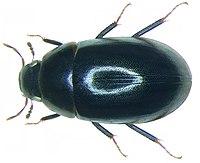 Cymbiodyta marginella (Fabricius, 1792) (3408978961).jpg