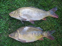 Cyprinus wikipedia la enciclopedia libre for Carpa europea