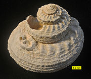 Archaeogastropod from the Pliocene of Cyprus. A serpulid worm is attached.