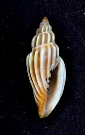 Cythara (gastropod) - Shell of Cythara striata