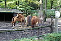 Děčín, zoologická zahrada, huculští koně, výběh (1).jpg