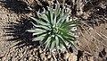 DSC08686 planta en el Parque Nacional del Teide (Tenerife, Canarias).jpg
