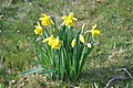 Daffodils at Covehithe - geograph.org.uk - 1776714.jpg