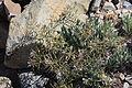 Daggerpod plants Phoenicaulis cheiranthoides.jpg