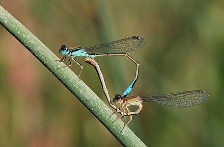 Blue-tailed damselflies mating