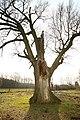 De 'Duizendjarige Eik' , opgaande boom - 375321 - onroerenderfgoed.jpg