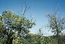 Juglans cinerea - Wikipedia