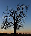 Dead Oak Tree-Hanford California - panoramio.jpg