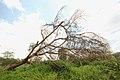 Dead tree (42778340860).jpg