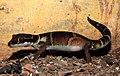 Deccan Banded Gecko Geckoella deccanensis by Dr. Raju Kasambe DSCN7960 (43).jpg