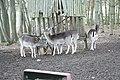 Deer near Restaurant Na Vyhlídce near Okarec, Třebíč District.jpg