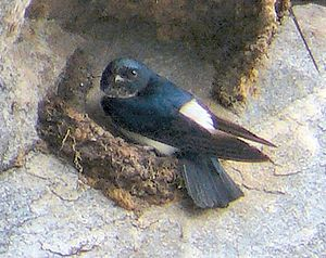 three swallow-like birds with black upperparts and white rumps and underparts perched on or by mud nests under a rocky ledge.