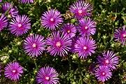 Delosperma cooperi, Botanical Garden, Zagreb, Croatia - 20090709