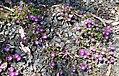 Delosperma sutherlandii in Dunedin Botanic Garden 04.jpg
