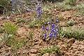 Delphinium scaposum - Flickr - aspidoscelis.jpg