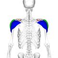 Deltoid muscle back6.png