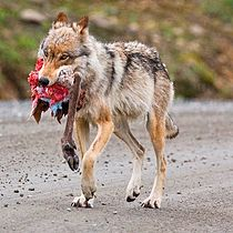 Denali wolf with caribou hindquarter 2.jpg