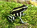 Dendrobates truncatus01a.jpg