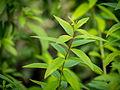 Der Zitronenstrauch, Aloysia citrodora, Verbenaceae, Zitronenverbene, Habitus 07.jpg