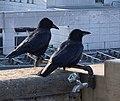 Des corbeaux sur le balcon du Lausanne Palace.jpg