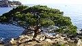 Detall vegetació (Camí de ronda Palamós a les Cales de Cala Estreta)-Costa Brava - panoramio.jpg