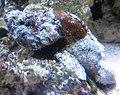 Devil scorpionfish (Scorpaenopsis diabolus), Waikiki Aquarium.JPG
