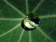 A drop of dew is cupped in the leaf of a common garden nasturtium.