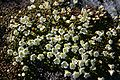 Diapensia lapponica Iwaume in hakusan 2008 7 1.jpg