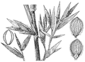 Dichanthelium scoparium (as Panicum scoparium) HC-1935.png