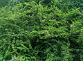 Dichrostachys cinerea (Sickle Bush) tree at Madhurawada.jpg
