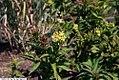 Diervilla sessilifolia Butterfly 2zz.jpg