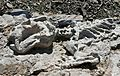 Diictodon Skeleton (32659626041).jpg