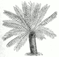 Dioon edule.png