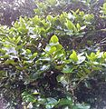 Diospyros egrettarum ebony planted by Nelson Mandela - Pamplemousses 2.jpg