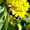 Diptera (2763496711).jpg