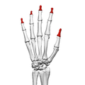 Distal phalanges of the hand (left hand) 02 dorsal view.png