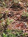 Dodder (Cuscuta epithymum) in flower on Cudden Point.jpg