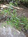 Dodonea viscosa - Jardin d'Éden.JPG