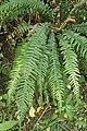 Doodia australis kz9.jpg
