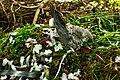 Door sperwer (Accipiter nisus) gedode houtduif (Columba palumbus). Locatie, Natuurterrein De Famberhorst 01.jpg