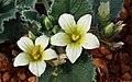 Dos flores de Ecballium elaterium (44539744105).jpg