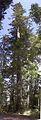 Douglas-fir (2973069488).jpg