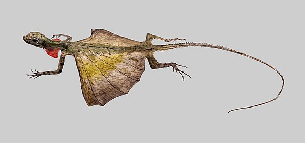 A Common Flying Dragon, Draco volans (Museum specimen)